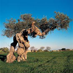 Olive tree (Puglia, Italy)