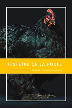 ---Histoire de la poule--- Originaire d'Asie, la poule nous est familière depuis plusieurs milliers d'années. On trouve des traces de son passage 1500 ans avant Jésus Christ en Chine et en Inde. De l'antiquité jusqu'au dix-neuvième siècle de nombreuses variétés locales sont apparues grâce aux sélections successives opérées par les fermiers, en fonction des qualités recherchées (viande ou ponte), des spécificités régionales et des variations climatiques.