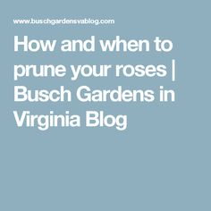 How and when to prune your roses   Busch Gardens in Virginia Blog
