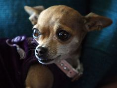 Such an adorable little #Chihuahua, would you believe she was deemed Dangerous?