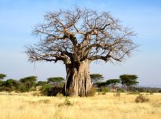 Baobab boom in Tanzania, Tarangire NP / Lake Manyara Landscape Pictures, Landscape Paintings, Baobab Tree, Big Tree, Tree Forest, Belleza Natural, Fauna, Tree Art, Tree Of Life
