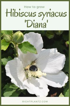 Hibiscus syriacus 'Diana' Common Name: Rose of Sharon Plant Story: An award-winning small tree, Hibiscus syriacus 'Diana' features large white flowers from summer until frost. The cultivar has little seed production.  Type: Shrub Deciduous Bloom Season: Summer Flower Color: White Planting Zone: 5-8  Click to learn more. Summer Flowers, Colorful Flowers, White Flowers, Seed Production, Rose Of Sharon, Zone 5, Different Plants, Small Trees, Large White