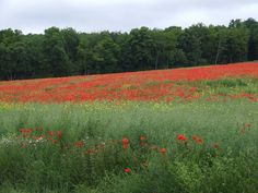 my french country home the poppy fields of Normandy