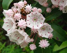 mountain laurel - we had tons of these in the woods in Woodbury... I really want to plant some here!