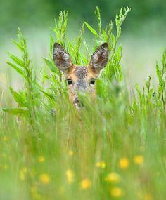 Shy deer