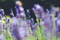 Lavender by Gnesa on @creativemarket