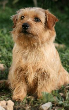 Norfolk Terrier ♥  www.thenorfolkterrier.com