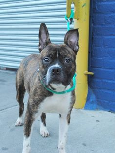 GONE RIP  9/5/13 Brooklyn  ZAYD A0975333 Male br brindle and white boxer mix 1yr/6mos No one has come for Zayd & ACC has decided his time w/ them is up He's on tomorrow's euthanasia list. Tonight, Zayd needs to find that person who sees in him the fear & nervousness about these last days & gives him the time to decompress. He's ready to go at a moment's notice. Are you the someone who understands Zayd? If you are, step up to foster or adopt NOW before he goes back on the list