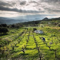 Photo by @paleyphoto (Matthieu Paley). A man tends to his #vineyard in #Crete. The history of #wine spans thousands of years. Apparently, #Paleolithic humans enjoyed it out of animal-skin pouches! Moderate consumption is said to be good for your heart and spirit... Enough said? I am finishing up my trip in #Greece, looking at the #Mediterranean Diet, for part 5 of my @natgeo story on the Evolution of diet - how we are what we ate - coming out in September. Soon I will share images from ...