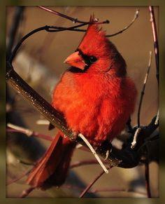 Northern Cardinal Cardinal Pictures, Northern Cardinal, State Birds, Cardinal Birds, Kinds Of Birds, Backyard Birds, Pet Treats, Colorful Birds, Shades Of Red