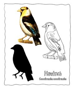 finch coloring page.html