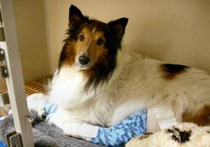 On May 22nd he had surgery, and almost a month later he was turned over to Sheltie rescue.