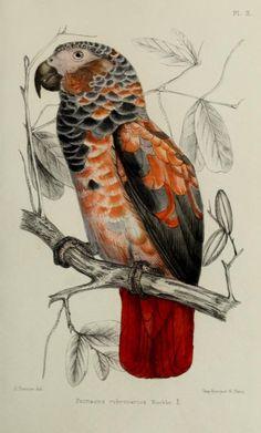 Alphonse Trémeau de Rochebrune (1836 - 1912). Psittacus rubrovarius - variant of Grey Parrot, Psittacus erithacus. Faune de la Sénégambie, 1883-1887.  [Pinned 7-viii-2015]