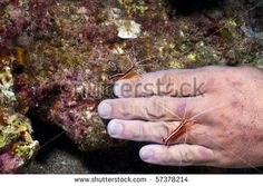 Here are some cleaner shrimp giving this diver a manicure