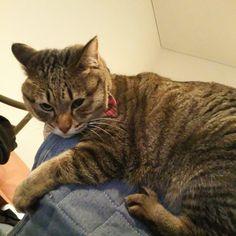 「ふてくされ、座椅子の背もたれの上にいるうちの子、うめぴん。 She is mad at her mom. She is on back of chair.  #ねこ #猫 #猫写真 #ネコ #しましま軍団 #キジトラ #キジネコ #きじとら #きじねこ #cat #catstagram #instacat…」