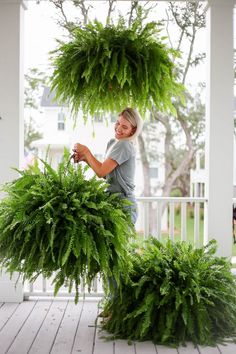 how to get big healthy ferns - Holy City Chic Big Indoor Plants, Porch Plants, Garden Plants, House Plants, Hanging Ferns, Hanging Plants Outdoor, Hanging Planters, Hanging Baskets, Fern Planters
