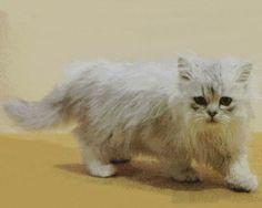 Gato Persa Chinchilla http://www.mascotadomestica.com/razas-de-gatos/gato-persa-chinchilla.html