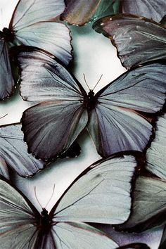 Grey butterflies