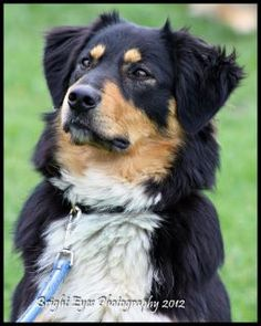 Some even think that offering your pet toys can avoid it from developing behavioral problems. English Shepherd, Australian Shepherds, Shepherd Dogs, Big Dogs, Dogs And Puppies, Doggies, Welsh Sheepdog, Scotch Collie, Farm Dogs