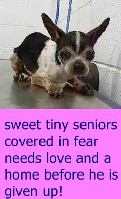 TANNER (A1707284) I am a male white and black Chihuahua - Smooth Coated mix. The shelter staff think I am about 12 years old. I was found as a stray and I may be available for adoption on 06/30/2015. — hier: Miami Dade County Animal Services. https://www.facebook.com/urgentdogsofmiami/photos/pb.191859757515102.-2207520000.1435166472./1000784803289256/?type=3&theater