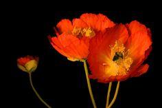 Orange Poppies Photograph by Brian Davis