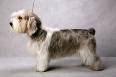 Maggie the Petit Basset Griffon Vendeen (Hound). Maggie, registered as Soletrader Maggie May, is owned by Donna K. Moore. (Fred R. Conrad, a New York Times photographer, set up a studio at the 2013 Westminster Kennel Club dog show and invited Best of Breed winners to pose.)