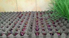 Skvelý spôsob, ako celoročne pestovať cibuľu v byte Garden Great Ideas, Easy Garden, Garden Seeds, Fruit Garden, Vegetable Garden Design, Garden Tools, Summer House Garden, Hanging Mason Jars, Farm Gardens