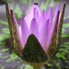 .:Waterlily:.