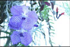 pretty geometric orchids purple | exotic purple orchids by Michael Jastremski | openphoto.net (BETA)