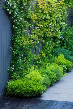 Climbing plants are versatile plants. When it comes to use climbing plants in the courtyards, there are several choices that homeowners can choose. Garden Shrubs, Shade Garden, Garden Path, Small Gardens, Outdoor Gardens, Evergreen Garden, Evergreen Climbing Plants, Evergreen Vines, Black Garden