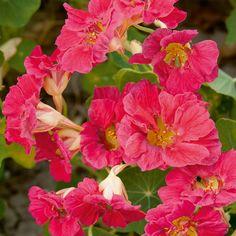 Kapuzinerkresse Cherry Rose Jewel - Kapuzinerkresse