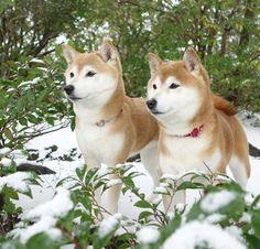 ひかいちミルキー オフィシャルブログ「柴犬ひかりといちごと猫ミルキー」Powered by Ameba -2ページ目