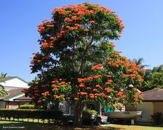 Spathodea campanulata - African Tulip Tree - © All Rights Reserved - Black Diamond Images