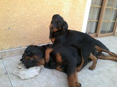 BLACKYS & DESSA #Rottweilers Get up! It's time to PLAY!!!