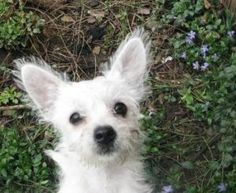 Lucy is an adoptable West Highland White Terrier Westie Dog in Raytown, MO.  More pictures on facebook! Please include a completed application with your inquiry Please review our policies and procedu...
