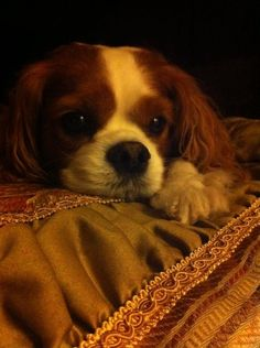 ♔ Beautiful Blenheim Cavalier ~ Delightful puppy
