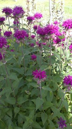 Bee Balm ~ Monarda. One of my faves. Attracts bees and Hummingbirds. Love the peppery scent.