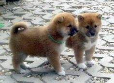 Shiba Inu Puppies. I want one so bad!