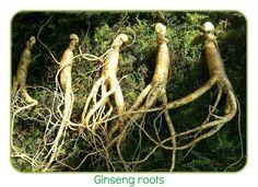Panax #Ginseng Benefits for Men