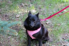 ADOPTED! Meet Sophie a Petfinder adoptable Schipperke Dog | Saugatuck, MI | Wild Dog Rescue is a 501(c)3 non-profit organization that relies on donations for the continued...