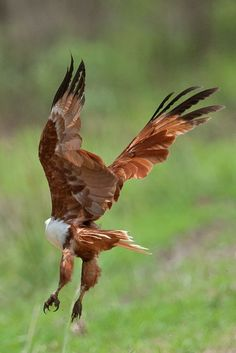 Brahminy Kite - Haliastur indus girrenera | Flickr - Photo Sharing!