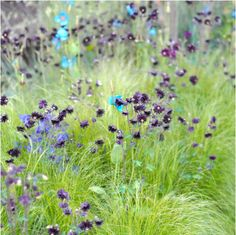 meadow with aquilegia, blue meconopsis, and grasses