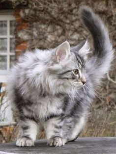 Norwegian Forest Cats have double coat that helps them fight with the snowy climate of Northern Europe.The upper coat is water proof and doe...