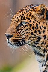 Leopard looking to the right