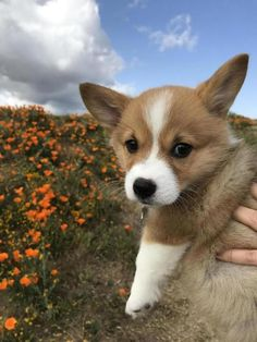 This cute corgi puppy will make you amazed. Dogs are wonderful friends. Cute Puppies, Cute Dogs, Dogs And Puppies, Doggies, Teacup Puppies, Teacup Chihuahua, Corgi Dog, Dog Cat, Husky Puppy