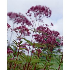 Rosenflockel halmolnigt 1-1,5m Garden Beds, Garden Plants, Garden Gadgets, Summer House Garden, Modern Pergola, Herbaceous Perennials, Native Plants, Flower Beds, Garden Planning