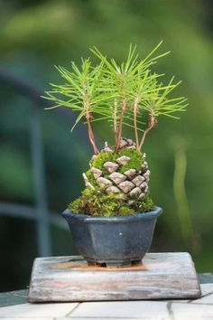 25 Popular Bonsai Trees Ideas For Indoor Garden. 20 pretty bonsai trees ideas for indoor garden by ellen w. Flowering bonsai trees can be a very beautiful decoration  Bonsai Indoor, Bonsai Plants, Bonsai Garden, Garden Trees, Garden Art, Garden Plants, Indoor Plants, House Plants, Bonsai Trees