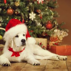 White Puppy Retriever in Santa Hat Lying under Xmas Tee  Posted by : @friendlygoldenretriever  Follow me to see more nice picture   Thank you so much ☝️☝️ Tag someone who you'd want to share this photo with Beautiful   All about Golden Retriever Dogs for dog lovers @friendlygoldenretriever   ⤵ Double tap & tag your friend Love it   ❤❤❤  ❤❤❤  ❤❤❤  #goldenretrieverlovers #goldenretrievers #goldenretriever #goldenretrieverpuppy #goldenretrieverpuppies #goldenretrieversworld #goldenr...