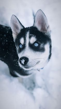 Snow days #siberian #husky #puppy