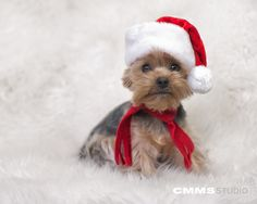 #Merry #Christmas !    Little Santa    #Yorkie Portrait    Doggy/Pet Portraits by CMMS Studio    www.cmmsstudio.com